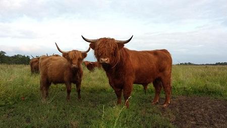 hooglander-koe-en-stier-extra-klein